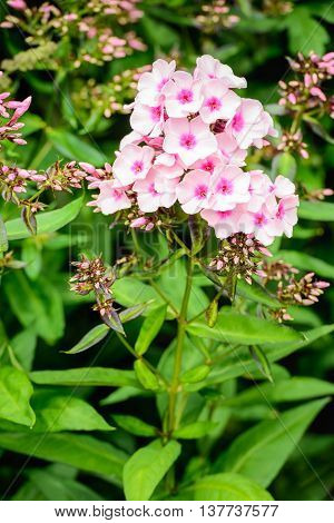 Closeup of pink-hearted white blossoming Phlox plants with a small yellow pistil and stamens.