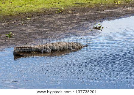Large alligator resting on river bank at Florida Myakka River State Park.