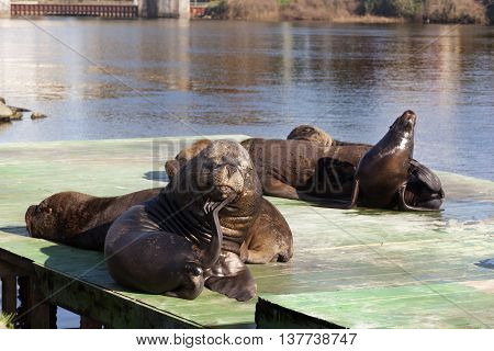 Sea lion on pier in Valdivia. Chile