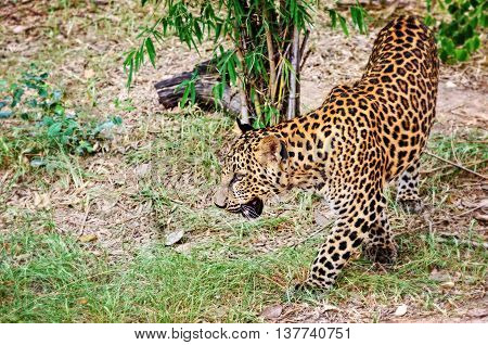 Leopard Panther or Panthera pardus walking in the wild on the ground look for prey to feed