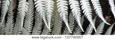 Silver fern frond underside pattern nature abstract