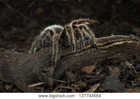 Chilean Rose Tarantula (Grammostola Rosea) on forest floor