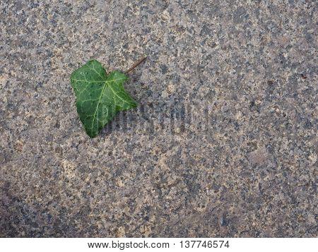 Ivy Hedera Plant Leaf