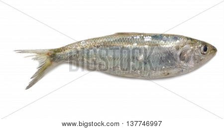 Raw Azov shad (Alosa caspia tanaica) isolated on white background