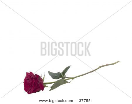 Single Rose On Long Stem With Water Drops