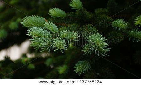 New tender needle growth on spruce tree, Picea