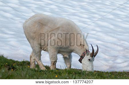 Male Billy Mountain Goat (Oreamnos Americanus) on Hurricane Ridge snowfield in Olympic National Park in Washington State USA