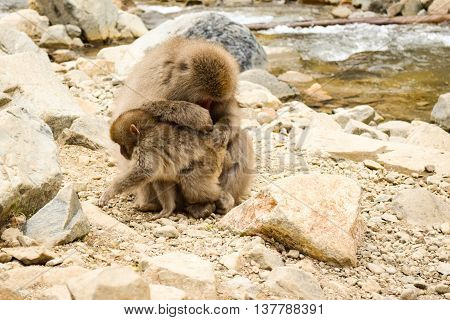 Parent Monkey Cleaning Small Child Monkey, Whilst Trying To Escape