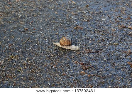 This is snail traveling on a wet forest path.