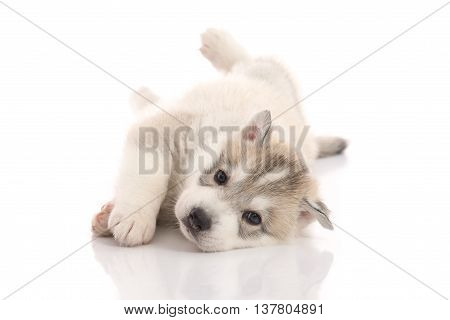 Cute siberian husky puppy lying on white background isolated