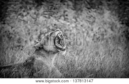 Dramativ Lion roaring in black and white