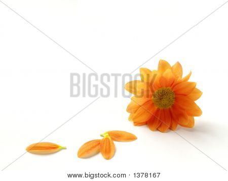 Isolated Gazania
