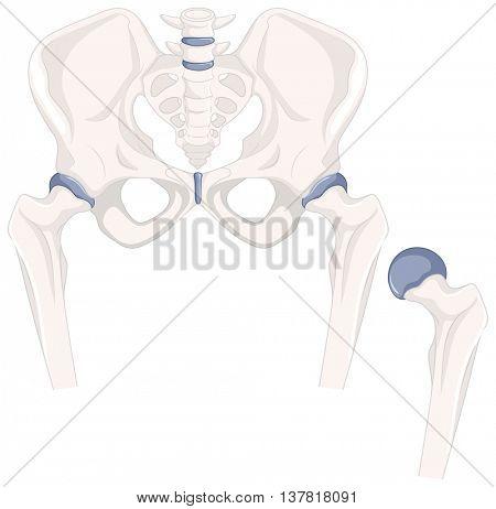 Human hip bones in close up illustration