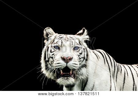 Portrait Of A White Tiger With Blue Eyes