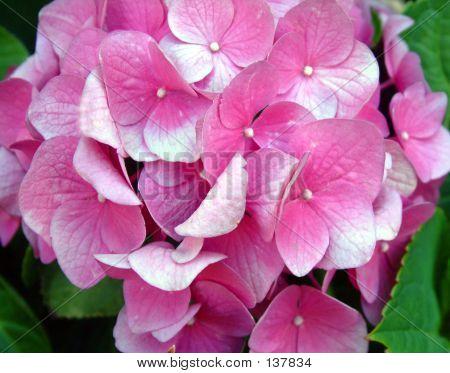 Pink & White Hydrangea