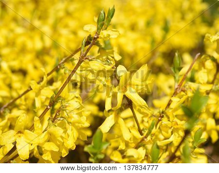 Blossoming forsythia bush in the sun. Spring background.