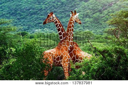 two giraffes tenderly entwined necks in the jungle