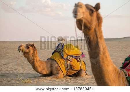 Camels in Thar desert, Rajasthan, India