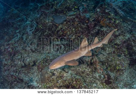 Nurse shark at Amergris Caye in Belize