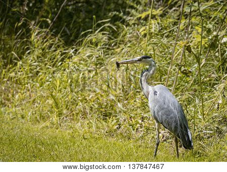 2 Grey Heron set Catching and eating mouse or vole (Ardea cinerea)