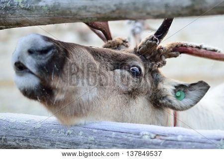 A close-up on a reindeer eye. Shedding skin off antlers.