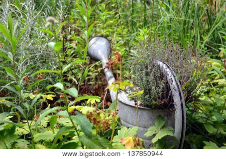 watering can as decoration in the garden with grown plants