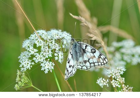 The marbled white is a butterfly in the family Nymphalidae. Flower caraway and other meadow grasses.