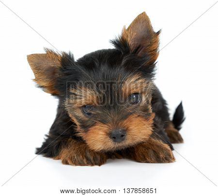 One small and cute puppies of Yorkshire Terrier isolated on white