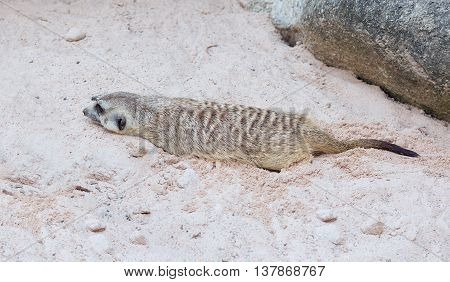 Cute Light Brown Meercat Havinf The Rest In The Desert Sun While Digging A Hole In The Sand