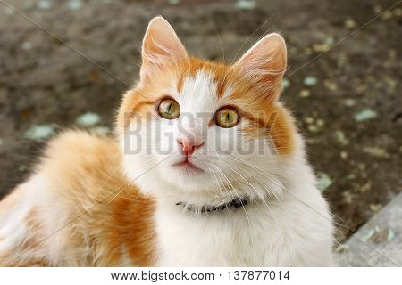 Beautiful fluffy house cat with a collar against fleas