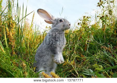 poster of Image of cautious rabbit standing in green grass in summer