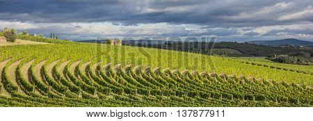 Vineyard in a typical Toscan landscape Italy