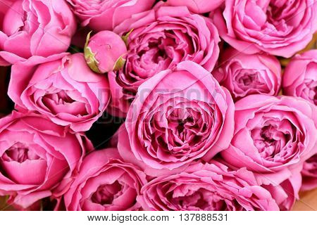 Beautiful pink roses background on close up