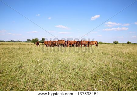 Purebred chestnut foals and mares eating green grass on the meadow summertime rural scene. Young chestnut foals and mares eating gras on meadow summertime outdoor rural scene