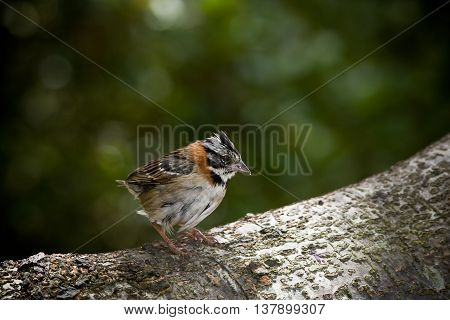 A tiny Rufous collared  Sparrow sitting on a branch.