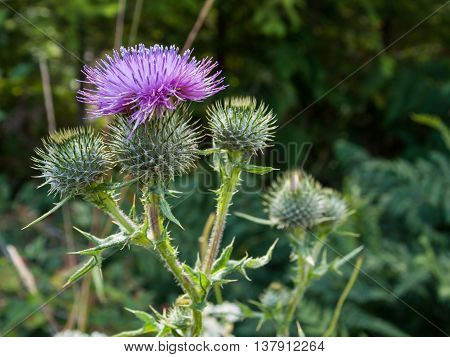 A purple Carduus Acanthoide flower. Also known as a spiny plumeless thistle. Photo taken on a natrual forest background.