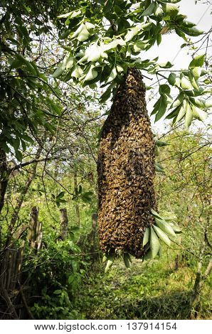 swarm of bees on a tree branch beekeeping