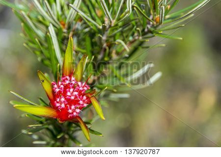 Mountain Devil (lambertia Formosa) Blossoming