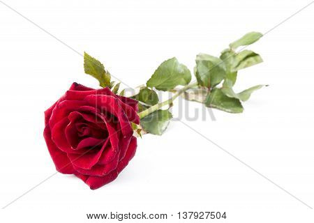 Red Rose isolated on White background Classic style