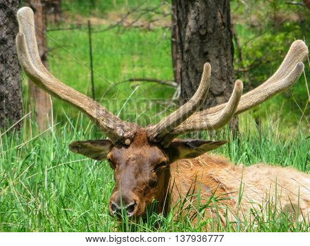 Head of a male moose lying in long grass with large antlers