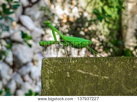 A green praying mantis insect standing on wood, close-up side on view of legs and full body
