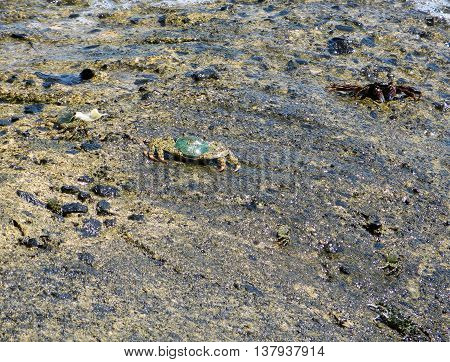 Small sea crab crawling over rocks by the sea
