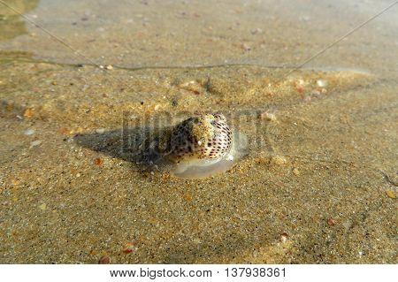 A close-up of a small sea snail on a sandy beach