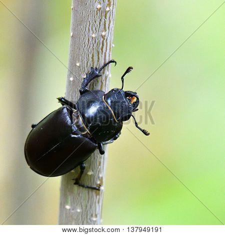 female Stag Beetle - Lucanus cervus - in natural habitat