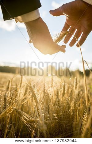 Businessman nurturing an ear of ripening wheat outdoors in an agricultural field close up of his hands backlit with the glow from the morning sun in a conceptual image.