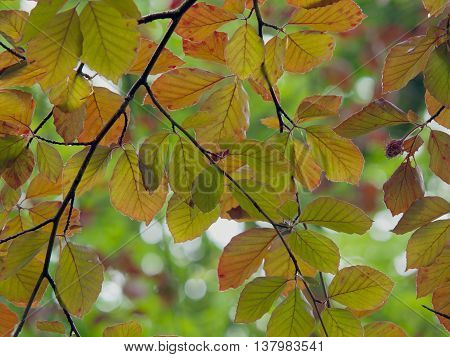 Copper beech tree branches in spring turning red