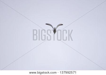 Least Tern in flight making eye contact