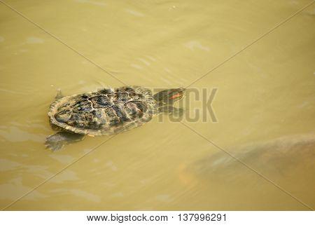 Red - eared slider turtle under watter