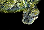 very deadly green snake on black poster
