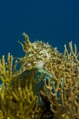 Cuttlefish swimming amongst yellow soft coral with tentacles raised. Taken in the Wakatobi Indonesia. poster